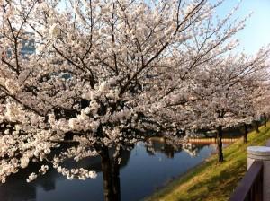 市ヶ谷の桜